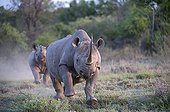 Female Black Rhinoceros charging with calf - South Africa