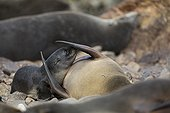 Southern Fur Seal and young - Punta San Juan Peru