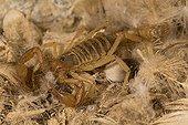 Scorpion predator of ticks - Pescadores guano island  Peru ; Scorpio as specialized predator of soft ticks swarming in colonies of seabirds.