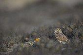 Burrowing owl on ground - San Fernandino Nazca Desert Peru