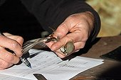 Healer taking notes on a sparrow recovering -Camargue France