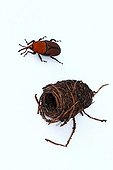 Red Palm Weevil female and cocoon on white background