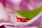 Red-spotted plant bug larva on a flower - Vosges France