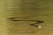 Asian Python in Nepal's river - Royal Bardia NP Nepal