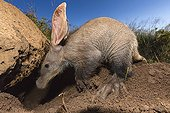 Aardvark looking for ants and termites under a rock -Namibia