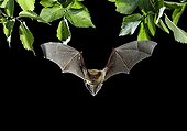Serotine Bat flying at night - Spain