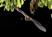 Sérotine commune en vol et proie de nuit - Espagne