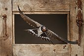 Barn Swallow flying through a window - Spain 1st place, birds, Oasis 2013