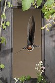 Barn Swallow flying through a window - Spain