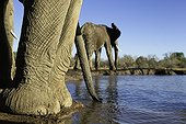 Elephant feet close-up - Botswana