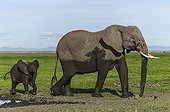 Young elephant calf covered of mud with his mom - Kenya
