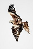 Red kite in flight - Spain