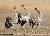 Common Cranes singing - Spain