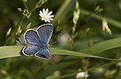 Idas Blue on leaf - Denmark
