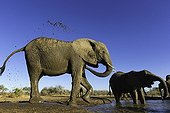 Elephant splashing of muddy water - Botswana