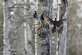 Male Black Woodpecker landing at nest - Finland