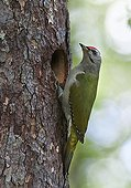Male Grey-headed woodpecker at nest - Finland