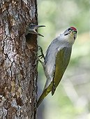Male Grey-headed woodpecker and chick at nest - Finland