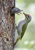 Female Grey-headed woodpecker and chicks at nest - Finland