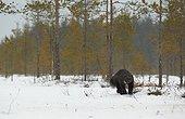 Wolverine running on snow under snowfall - Finland