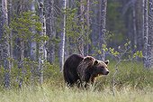 Brown Bear out of forest - Finland