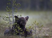 Brown Bear lying in a clearing - Finland