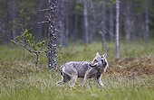 Grey Wolf out of forest in rain - Finland