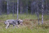 Grey Wolf walking out of forest - Finland