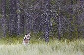Grey Wolf in a clearing - Finland