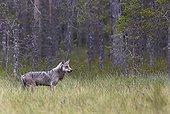 Grey Wolf walking on grassland - Finland