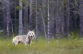 Grey Wolf out of forest - Finland
