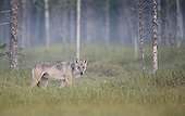 Grey Wolf in the morning mist - Finland