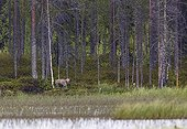 Grey Wolf beside water out of forest - Finland
