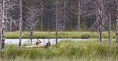 Grey Wolf in woodland wetlands - Finland