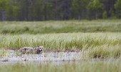 Grey Wolf walking on grassland in wetlands - Finland