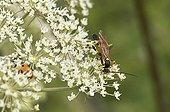 Parasitic Hymenoptera on flower - Denmark