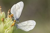 Moroccan Orange Tip couple on flower - France ; male, top, unfolds its trunk alternately on both sides of the wings of the female.