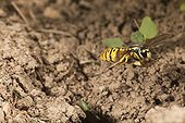 German wasp flying over the entrance to its nest - France