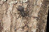 Longicorn Beetle on bark - France