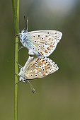 Common Blue mating on a stem - France