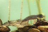 Alpine newt male in breeding time in water - France
