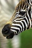 Burchell's zebra foal portrait at Nakuru NP - Kenya