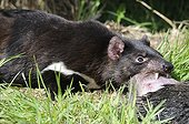 Tasmanian devil eating a prey - Tasmania Australia