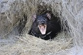 Tasmanian Devil in his burrow - Tasmania Australia