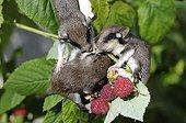 Young Garden Dormouse eating Raspberries - France
