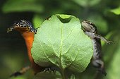 Male Alpine Newt and Palmated Newt behind a leaf