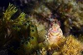 Blenny in the reef - Mediterranean Spain