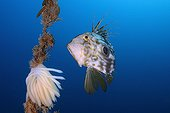 John Dory and spawning Squid - Mediterranean Spain