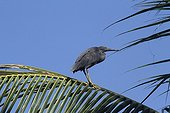 Pacific reef egret  resting on palm Coco - Bali Indonesia
