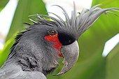 Portrait of Palm Cockatoo - Bali Indonesia
